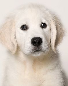 Looks like a golden retriever pup - hair is too long to be Labrador. Beautiful Dogs, Animals Beautiful, Cute Animals, Cute Puppies, Cute Dogs, Dogs And Puppies, Doggies, White Lab Puppies, Tier Fotos