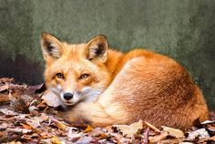 A Fox Resting In Autumn Leaves