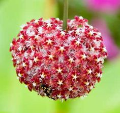 Hoya mindorensis, is another unique plant with a distinctively colorful and uniquely-shaped flower. This beautiful plant is native to the Philippines, specifically in the island province of Mindoro.