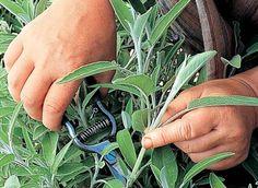 Sauges à toutes les sauces Laurier Sauce, Salvia Officinalis, Comment Planter, Green Tips, Plantation, Plants, Nutrition, Organiser, Biologique