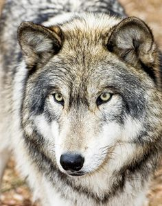 "beautiful-wildlife: "" Essence Of Wolf by Gary Slawsky """