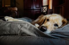 okuparc:Guilty until proven innocent by Brady the Golden Retriever on Flickr.