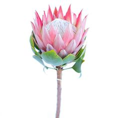 Protea King flower is an incredibly unique tropical flower that looks straight out of a storybook. This novelty flower is the largest in the protea family and f Cheap Wedding Flowers, Spring Wedding Flowers, Flower Bouquet Wedding, Colorful Succulents, Tropical Flowers, Pink Flowers, Sugar Flowers, Flor Protea, Protea Flower