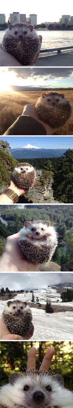 Hedgehog travels!