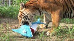 TIGERS VS SHARKS