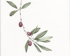 olive branch botanical drawing - Saferbrowser Yahoo Image Search Results