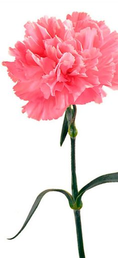"""""""while in general they express love, fascination and distinction, virtually every color carries a unique and rich association. White CARNATIONs suggest pure love and good luck, light red symbolizes admiration, while dark red represents deep love and affection. Purple carnations imply capriciousness, and pink carnations carry the greatest significance, beginning with the belief that they first appeared on earth from the Virgin Mary's tears – making them the symbol of a mother's undying love."""