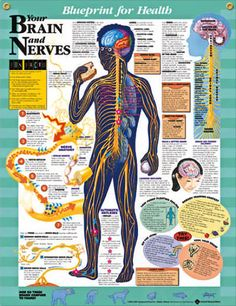 Your Brain and Nerves anatomy poster discusses learned and automatic reflexes, right brain vs left brain for pediatric office or classroom.