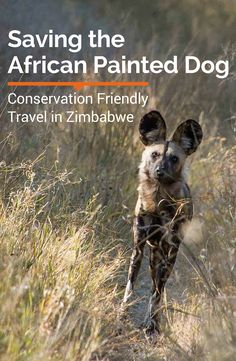 Visit Hwange National Park and fall in love with the endangered African Painted Dogs and the conservation programs designed to save them