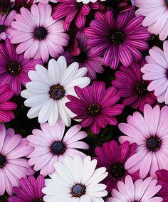 Marguerites.Mélange de couleur