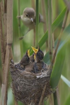 Reed-Warbler — von Love / feeding time for baby birds Pretty Birds, Love Birds, Beautiful Birds, Animals Beautiful, Baby Animals, Cute Animals, Tier Fotos, Little Birds, Bird Watching