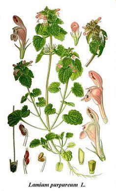Lamier pourpre ou Ortie rouge - Lamium purpureum var. purpureum