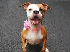 SAFE 4/20/15 --- Manhattan Center AMALIA – A1032160 *** AVERAGE HOME *** FEMALE, BROWN / WHITE, PIT BULL MIX, 1 yr STRAY – STRAY WAIT, NO HOLD Reason STRAY Intake condition EXAM REQ Intake Date 04/04/2015 http://nycdogs.urgentpodr.org/amalia-a1032160/