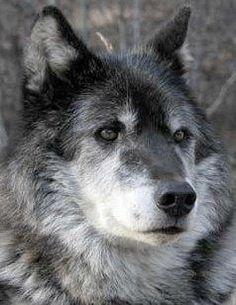 ♥ via Wolf Conservation Center