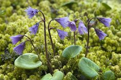 Alpine snowbell - Soldanella alpina (R. Rockery Garden, Alpine Flowers, Bird Species, Colorful Flowers, Over The Years, Planting Flowers, Garden Design, Tourism, The Past