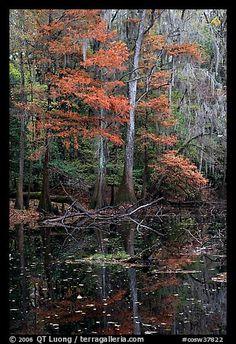 Bald Cypress in fall colors and dark waters. Congaree National Park, South Carolina