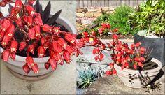 Echeveria 'Black Knight' - Cactus Garden