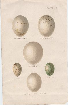 Beautiful Bird's Eggs - The Graphics Fairy Freebie Vintage Printable
