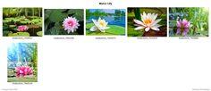 Grafica2411-Naturaleza-Animales-Paisajes-Flores-Cascadas-Estaciones-Insectos+Water+Lily+(from+grafica2411+-+Vinilos+Decorativos+-+Vitrales+Vinilo+-+Vinilos+Pared+-+Vinilos+Frases+-+Etiquetas+Vinilo)