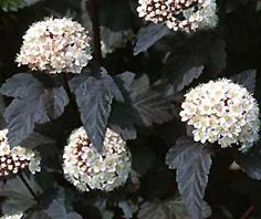Diablo Ninebark (Physocarpus opulifolius 'Diablo (tree form)') at Wedel's Nursery, Florist and Garden Center Dwarf Trees, Trees And Shrubs, Shade Landscaping, Landscaping Ideas, Full Size Photo, Small White Flowers, Flower Quotes, Garden Projects