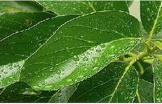 El aguacate como remedio para los  parásitos, el colesterol y los riñones