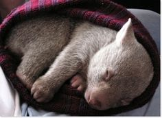 Baby wombat in a basket