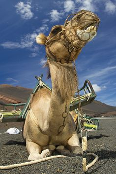 Camel in the Timanfaya National Park in Lanzarote. Flickr.com Photosharing from a User's Photostream.