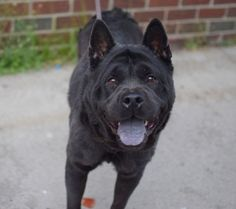 TO BE DESTROYED 05/16/15  Brooklyn Center My name is BLANCA. My Animal ID # is A1036119. I am a female black chow chow and chinese sharpei mix. The shelter thinks I am about 2 YEARS  I came in the shelter as a OWNER SUR on 05/12/2015 from NY 11373, owner surrender reason stated was MOVE2PRIVA.  http://nycdogs.urgentpodr.org/blanca-a1036119/