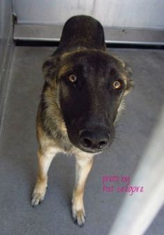 "Beautiful, young 1 yr old German shepherd waits for owner who is not coming. ""Sheba is a truly stunning girl who is smart, curious, and full of life. She is ready to learn the training basics all puppies need to grow into happy, healthy adults; and since she is so treat-motivated, we really think she will be ahead of the game."" http://petharbor.com/pet.asp?uaid=LACO2.A4741033"