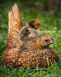 Golden laced Wyandotte mama hen and chick.