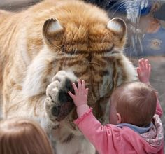 "A 370 lb. Golden Bengal Tiger bows its head and placed a paw up to the hand of a small girl - Photographer Dyrk Daniels says > ""I noticed this little girl was leaning against the glass with both hands outstretched staring at the 'big kitties' - I could not believe my eyes when Taj approached the girl, bowed his head and placed his huge right paw exactly in front of where the little girl's left hand was - It was incredible to watch - Taj let down his right paw, rubbed his cheek against the…"