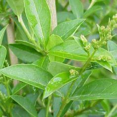 Leucanthemum x superbum nombre popular margarita mayor for Arbustos de hoja perenne resistentes al frio