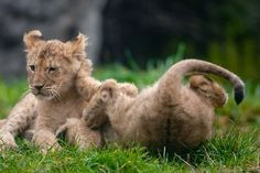 Lion upside-down: You can already tell that the one on the right won't be the alpha cat. (Woodland Park Zoo, Seattle.) Photo: Joshua Trujillo, Associated Press