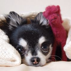"""It's a raining. I'll spend a quiet today. But I hope you'll enjoy your day."" #dog #chihuahua #quiet"