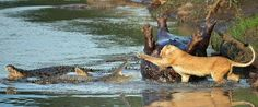 Leoa versus crocodilos (06 Imagens) | Hipernovas