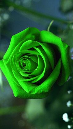Green Rose Mobile Wallpaper | Best HD Wallpapers