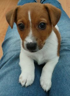 Hunter the Jack Russell Terrier pup
