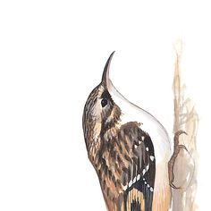 Brown Creeper. Painted and © by David Sibley