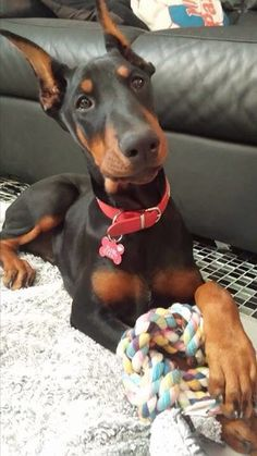 I want a Doberman so bad and this pup makes it so much ...