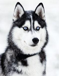 Articles similaires à Husky Sibérien Standout Print sur Etsy Puppy Husky, Cute Husky, Siberian Husky Puppies, Siberian Huskies, White Siberian Husky, Baby Huskies, Husky Mix, Beautiful Dogs, Animals Beautiful