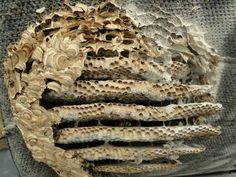 Nest van de gewone wesp waarvan na bestrijding de voorkant verwijderd is (foto: Richerman)
