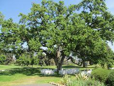 Ojai Valley Inn Oak