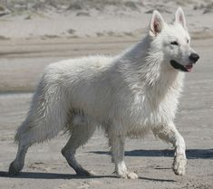 About the Dog Breed: Berger Blanc Suisse