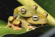 Two tree frogs attempt to perpetuate their species.