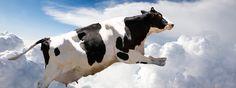 """Noticias   Educa tu mundo Córdoba, dic (EFE).- Un estudio elaborado por un equipo científico del Campus de Excelencia Internacional Agroalimentario de Córdoba (ceiA3) ha probado la supervivencia genética de la """"vaca de Colón"""", raza bovina introducida en América por los españoles hace más de cinco siglos. Según ha informado el ceiA3, la primera vez que una vaca cruzó el [...]"""