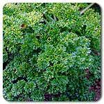 Organic Moss Curled Parsley