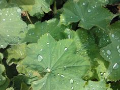 Raindrops on alchemilla mollis, shows how even bad weather can make a garden beautiful.  this self-seeding plant is very easy to grow, tolerates clay/alkaline soil and although it will grow in sun, I find it thrives best in light or semi shade.  I started with one plant 10 years ago - now I have hundreds and have to give them away. www.thefloodedgarden.com