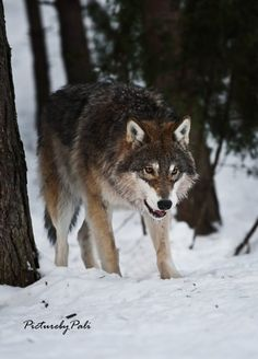 Gray wolf(Canis lupus) by Pali.