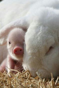 Little pig and rabbit