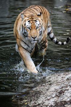 Amur-Tiger - null